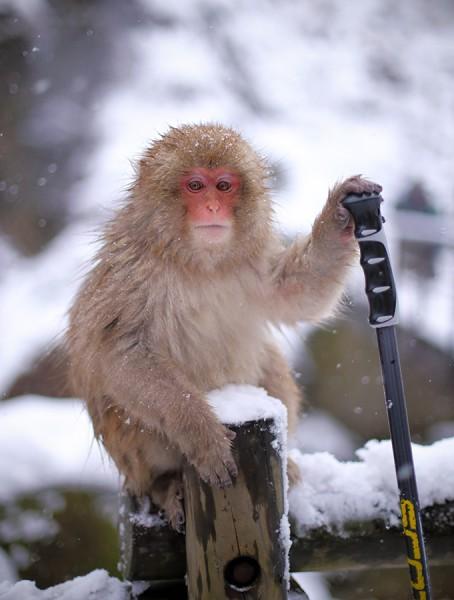 Snow Monkey observational behaviour