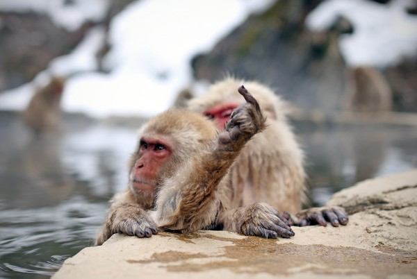 What the snow monkeys really think..